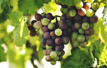 Jó minőségű, de kevesebb szőlő termett a szekszárdiborvidéken